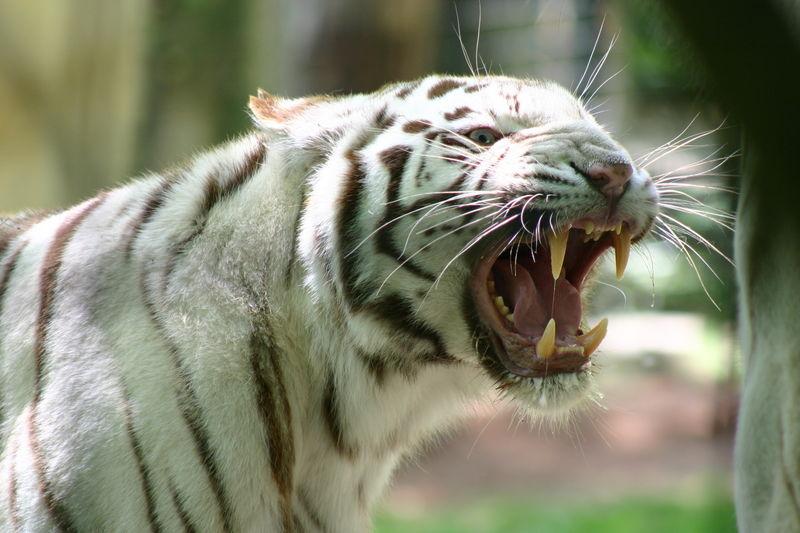 tigrisfog